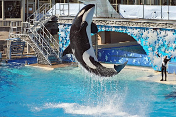 The orca Tilikum performs in Blackfish.